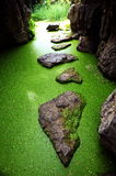 Cave duckweed Royalty Free Stock Image