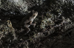 Cave frog. A frog makes his way out of a small cave in the Texas Hill Country near Austin Stock Photo