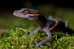 Cave gecko Stock Images