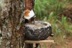 Cave o pinheiro, versão 1 fotos de stock royalty free