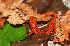Cave Salamander (Eurycea lucifuga) Royalty Free Stock Image