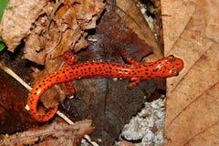 Cave Salamander (Eurycea lucifuga) Stock Photography