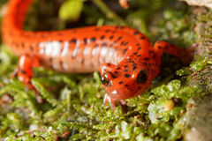 Cave Salamander Portrait Stock Photography