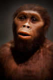 Caveman. Reconstructed model of a caveman in exhibition at the Natural History Museum in New York city, USA stock photos