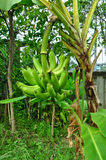 Cavendish banan Royaltyfria Foton