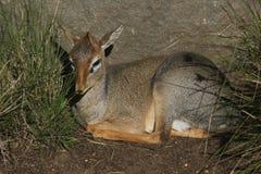 Cavendish dik-dik (Madoqua-kirkiicavendishi) Royalty-vrije Stock Afbeeldingen