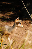 Cavendish's dik dik Royalty Free Stock Photography