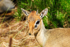 Cavendish's dik dik Royalty Free Stock Photo