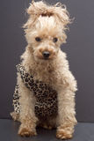 Cavewoman Cutie. A poodle dressed up like a cavewoman in an animal print dress Stock Photography