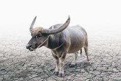 Cavezza della Buffalo sulla terra incrinata del suolo Immagine Stock