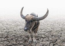 Cavezza della Buffalo sulla terra incrinata del suolo Fotografie Stock Libere da Diritti