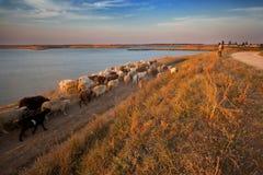 Cavi del pastore. Immagini Stock Libere da Diritti