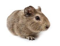 cavia cavy królik doświadczalny porcellus Zdjęcia Stock