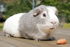 Cavia con la zanahoria Foto de archivo libre de regalías