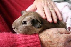 Cavia di terapia dell'animale domestico Fotografie Stock