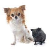 Cavia glabra e chihuahua fotografia stock
