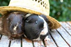 Cavia nel cappello Fotografie Stock Libere da Diritti