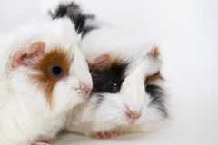 Cavia porcellus. Two  little  peruvian longhaired guinea pigs Stock Photo