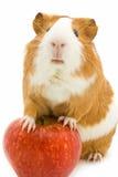 Cavia rossa e bianca e mela rossa Fotografia Stock Libera da Diritti