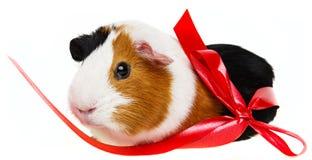 Cavia sveglia dell'animale domestico Immagini Stock Libere da Diritti