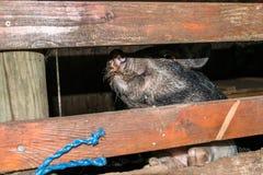 Cavia in una vecchia casa del maiale Fotografie Stock Libere da Diritti