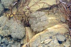 Caviar de la rana debajo del agua entre las cuchillas de la hierba fotografía de archivo