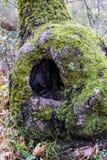 Cavidade da árvore em uma floresta Imagem de Stock