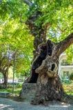 Cavidade enorme no tronco de uma árvore plana velha na cidade de Edessa, Grécia imagens de stock royalty free