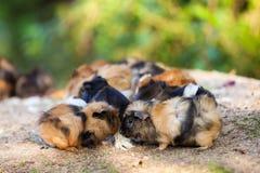 Cavie multicolori Porcellus di cavia Immagine Stock Libera da Diritti