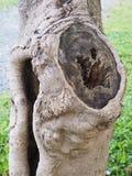 Cavità abbastanza grigia dell'albero Fotografia Stock