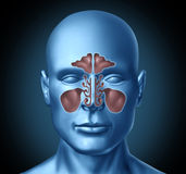 Cavità nasale umana del seno con la testa umana Immagine Stock