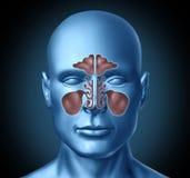 Cavité nasale humaine de sinus avec la tête humaine Image stock
