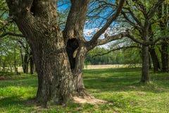 Cavité profonde dans le tronc du chêne antique en premier ressort Photos libres de droits