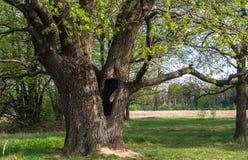 Cavité profonde dans le tronc du chêne antique en premier ressort Image stock