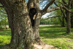 Cavité profonde dans le tronc du chêne antique en premier ressort Photographie stock
