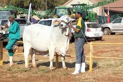 Cavo bianco del toro del bramano dalla foto dell'operatore Fotografia Stock