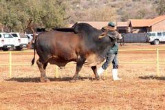 Cavo del toro del bramano di Brown dalla foto dell'operatore Immagini Stock Libere da Diritti