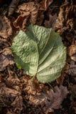 Cavo verde che si trova sulle foglie marroni Immagine Stock