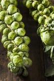 Cavoletti di Bruxelles organici verdi crudi Fotografie Stock