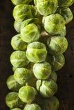Cavoletti di Bruxelles organici verdi crudi Immagini Stock