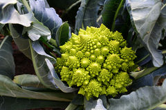 Cavolfiore del broccolo di Romanesco Fotografia Stock