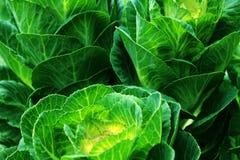 Cavolfiori ornamentali verdi Fotografia Stock Libera da Diritti