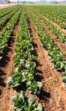 Cavoli che crescono - agricoltura moderna intensiva Fotografie Stock Libere da Diritti