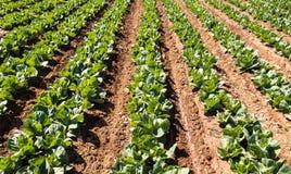 Cavoli che crescono - agricoltura moderna intensiva Fotografie Stock