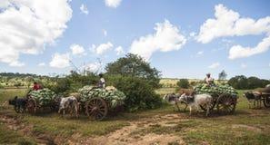 Cavoli di trasporto da commercializzare nel Myanmar. Immagine Stock