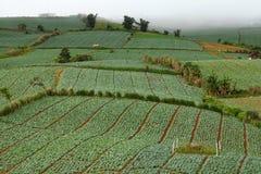 Cavoli nei campi di agricoltura immagine stock libera da diritti