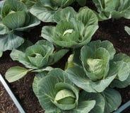Cavoli organici di estate che crescono in un letto alzato Immagini Stock
