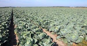 Cavoli verdi d'agricoltura intensivi in Europa settentrionale nel summe Fotografia Stock Libera da Diritti