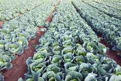 Cavoli verdi su un'azienda agricola Fotografia Stock