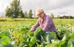 Cavolo bianco crescente dell'uomo senior all'azienda agricola Immagine Stock